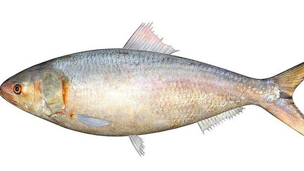 Short Paragraph on Hilsa or Ilish Fish